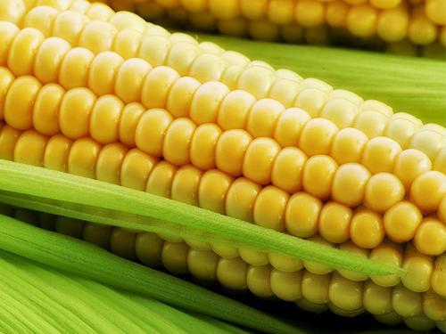 Семена кукурузы СИ Фортаго, Сингента