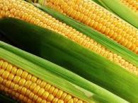 Насіння кукурудзи, Піонер, P0216