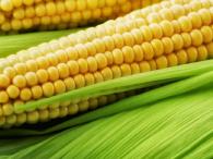 Насіння покупне кукурудза PR38N86 гібрид