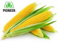 Насіння кукурудзи,  P9911 гібрид