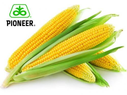 Семена кукурузы P9911 гибрид