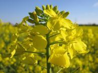 Насіння ріпака озимого Ексквізіт, Monsanto Company